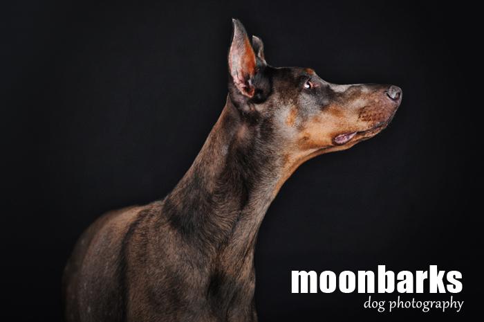 Focení psů Praha fotograf psů moonbarks modrý Dobrman