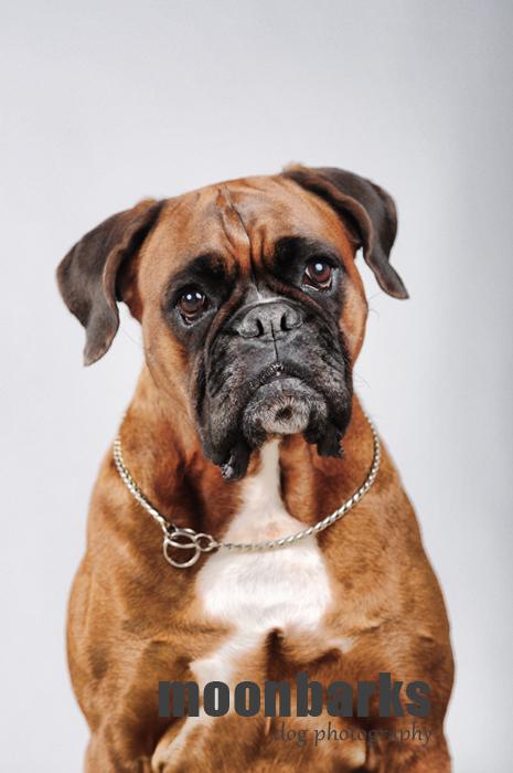 Focení psů Praha fotograf psů Boxer umělecké foto