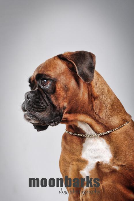 Focení psů Praha fotograf psů moonbarks Boxer